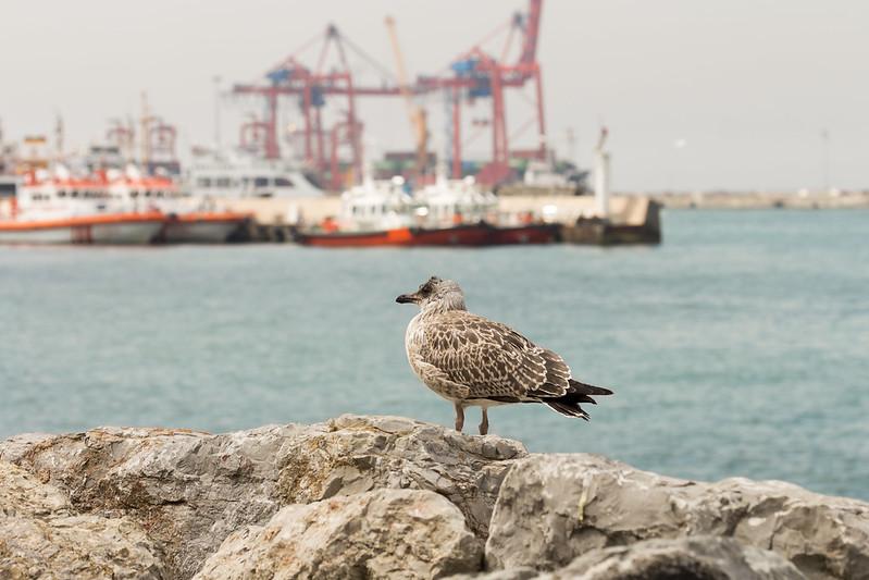 Calidris maritima in Kadikoy Port - Istanbul