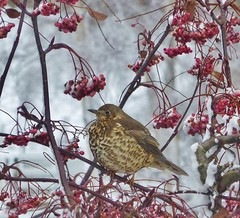 Song thrush on a fruity Rowan tree on Boxing Day