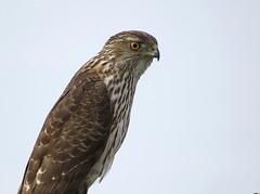 Cooper's Hawk, Wilmington, CA.