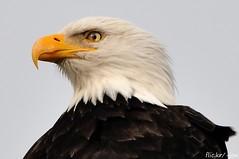 Bald Eagles - 2012