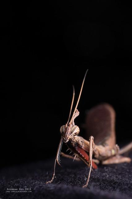 Bark horned mantis (Ceratocrania sp.) - JY-DSCF4277