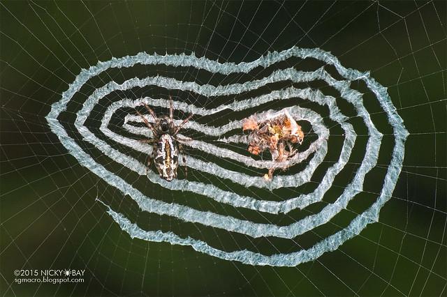 Trashline orb web spider (Cyclosa sp.) - DSC_4161b