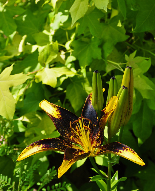 Lily Against Liquidambar 'Aurea'