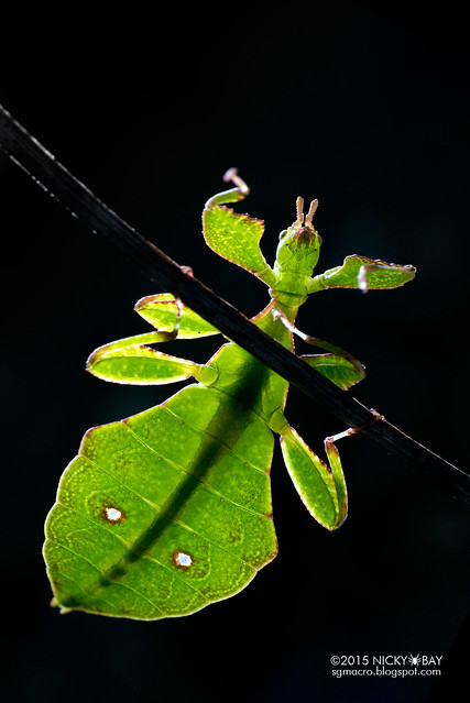 Leaf insect (Phylliidae) - DSC_1341