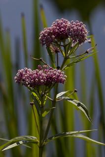 IMG_5221-Swamp Milkweed