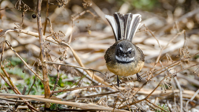 Fantails Close Up