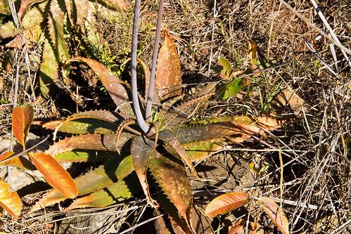 southafrica xanthorrhoeaceae asphodeloideae aloegreatheadii