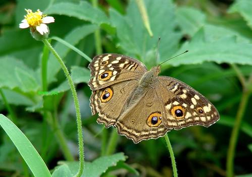 butterfly daisy lemonpansy sonyh2 bagnanwestbengalindia