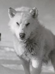 arctic fox, animal, canis lupus tundrarum, dog, gray wolf, snow, pet, canadian eskimo dog, greenland dog, monochrome, carnivoran, black-and-white, samoyed,