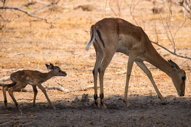 Newborn impala