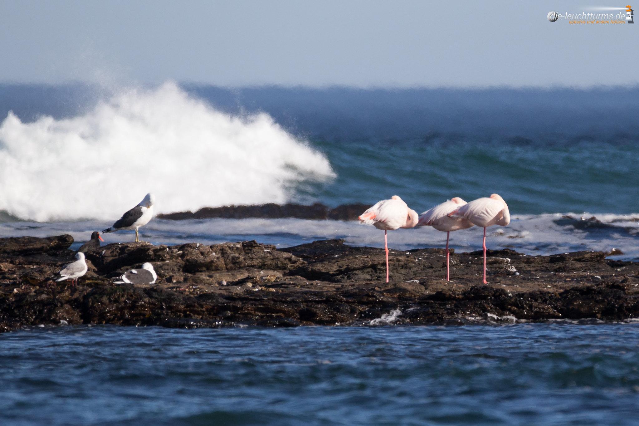 Flamingos in rough sea