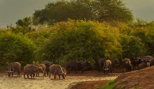 Thirsty Buffaloes by Geoff Livingston