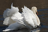 _MGL2753 Knopsvane - Mute Swan - Cygnus olor by Thanks for visit Soes' photo from the lovely natur