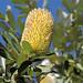 BANKSIA integrifolia also known as Coastal Banksia
