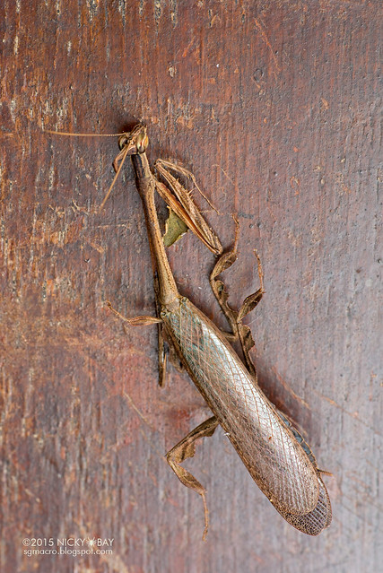Bark horned mantis (Ceratocrania sp.) - DSC_4082