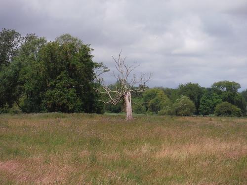 Tree in Watermeadow