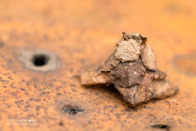 Bagworm larva (Psychidae) - DSC_3576