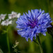 Cornflower by Good Nature One (On/Off!)