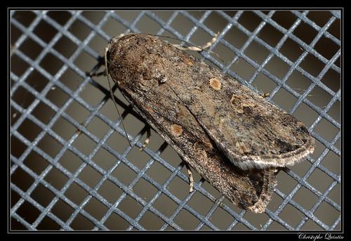 Noctuelle exiguë (Spodoptera exigua)