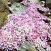 Alpine Rock-jasmine (Androsace alpina) (Kerrie Porteous)