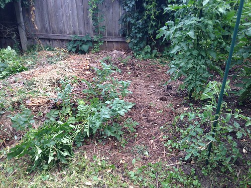 Volunteer potato and tomatoes in the compost pile