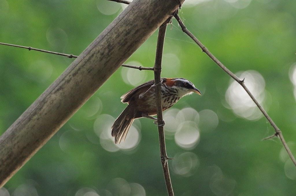HD Pentax-D FA 150-450mm F4.5-5.6拍八色鳥開鏡