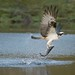 Fishing Osprey by KHR Images