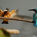 Common Kingfisher (পাতি মাছরাঙ্গা) by Arif Ahmed Photography