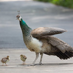 Madeline the peahen with Fleurette and Horace