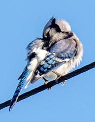 sparrow(0.0), falcon(0.0), branch(0.0), swallow(0.0), accipitriformes(0.0), crow-like bird(0.0), animal(1.0), wing(1.0), fauna(1.0), finch(1.0), blue(1.0), blue jay(1.0), beak(1.0), bird(1.0),