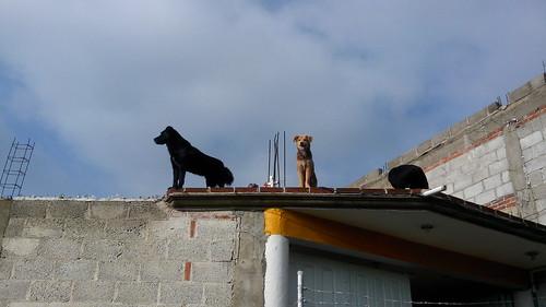 Perros en techo