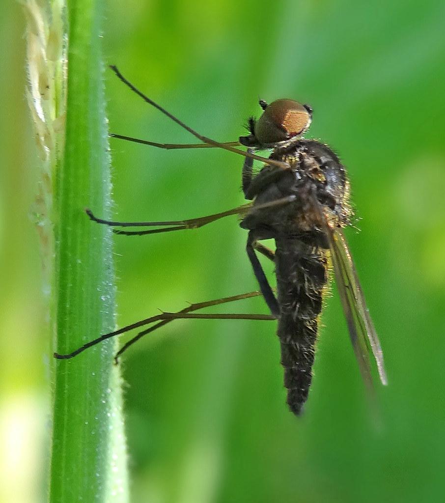 Snipe Fly Chrysopilus cristatus