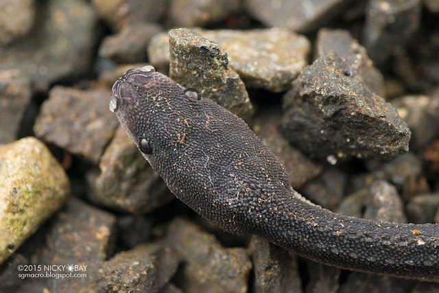 Dragon snake (Xenodermus javanicus) - DSC_4492