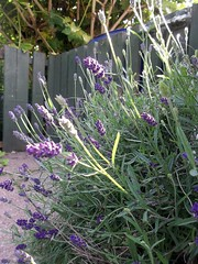 flower, purple, english lavender, plant, lavender, lavender, herb, wildflower, flora,