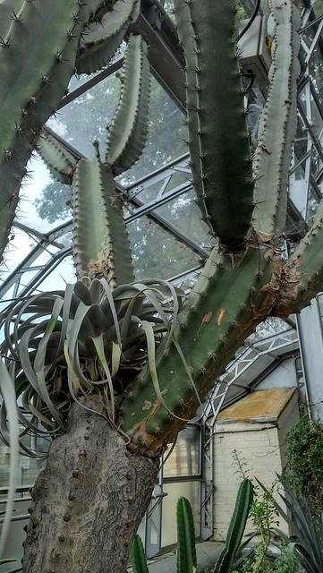 Tillandsia xerographica, an epiphyte, keeping a Cereus jamacaru company