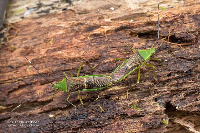 Squash bugs (Coreidae) - DSC_5486