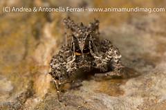 Portia fimbriata female
