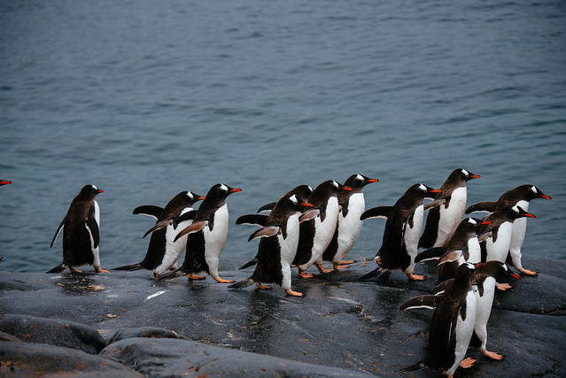 Gentoo penguins heading for the water