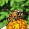Asian Honey Bee by Nikita Hengbok