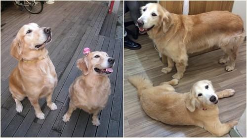 「認養」北市士林區7歲多黃金獵犬一對~身體健康按時美容~誠徵會照顧他們一輩子的新家~謝謝您!20150725