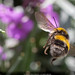 Bee and bokeh by Steve-h