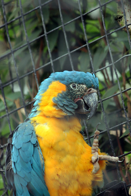 Kéktorkú ara - Blue throated macaw