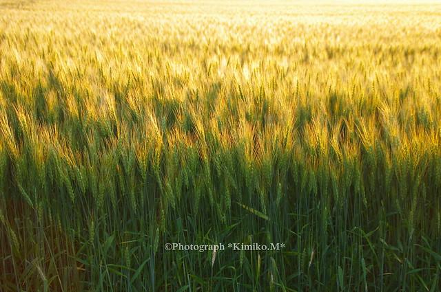 黄金色に光る麦畑3