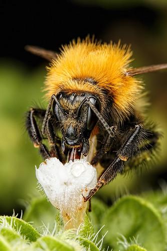 Bumblebee in Basil IV