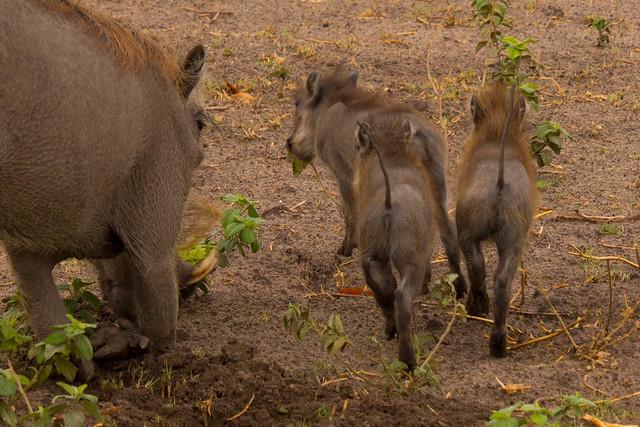 Warthog baby bums