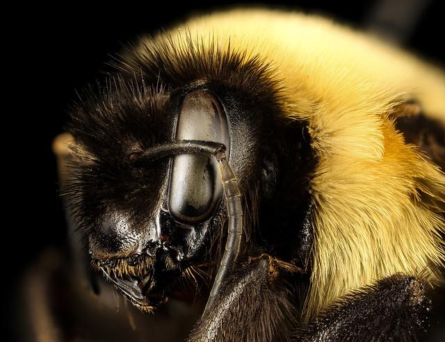 Bombus affinis, queen, racine wi, LW Macior 1965 sideface_2017-01-26-12.54