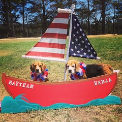 Day 1 of The Bay Team's USDAA Test! The beagles are all ready to sail away to a wonderful agility weekend! We didn't enter team today, so we are just hear to help out! The beagles are enjoying my breaks which just mean off leash sniffing and lots of treat