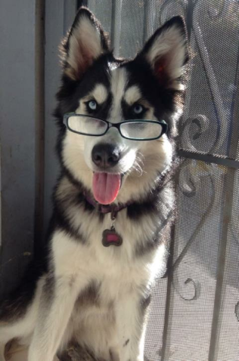 husky looking smart with glasses on
