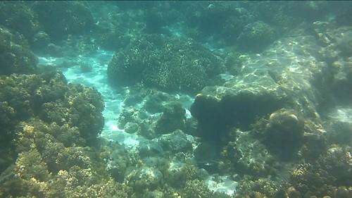 Estrella de mar azul entre corales