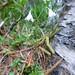 Linnaea borealis (Twin flower) (Kerrie Porteous)